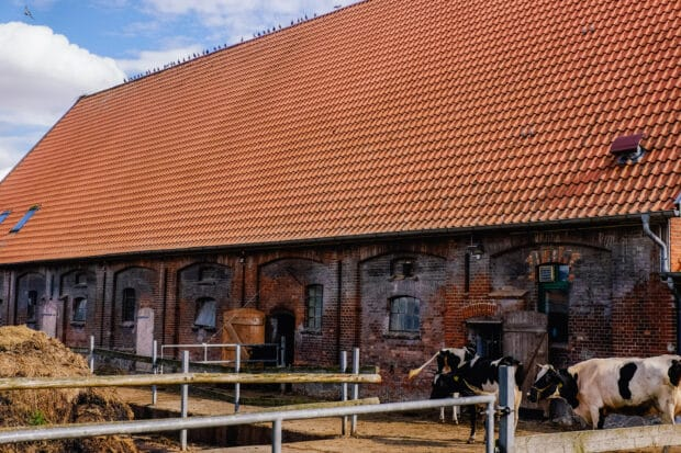 cowshed with pigeons on the roof